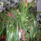 Orhidea nappaliban