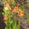 Tulipán sor