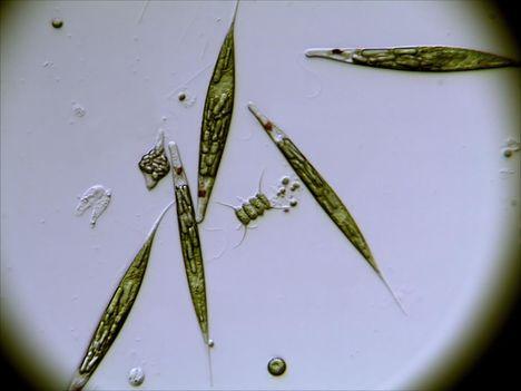 Ostoros algák