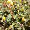 Madársóska ( Oxalis ) - a vadon élő sárga virágú .