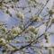 virágzó cseresznyefa ága