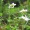 Egyvirágú körtike Moneses unifloraIMG_0532