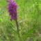 Foltos ujjaskosbor (Dactylorhiza maculata)