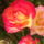 Fenyvesiné Sz. Éva galériája dézsás és egyéb virágai