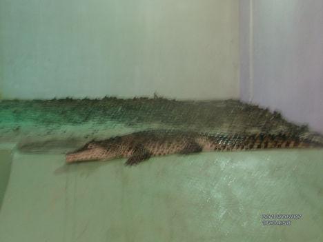 Krokodil Zoo 10