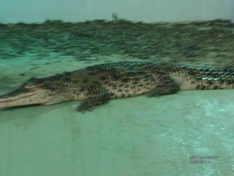 Krokodil Zoo 11