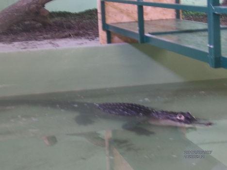 Krokodil Zoo 13
