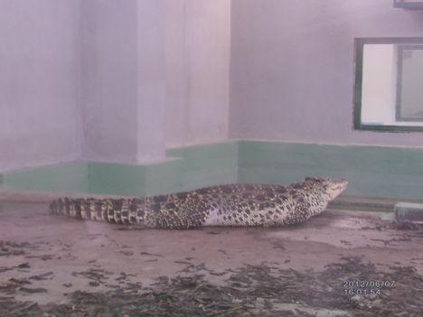 Krokodil Zoo 6