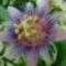 Tamási fürdő golgota virág 2