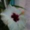 Tamási fürdő hibiszkusz virág 1
