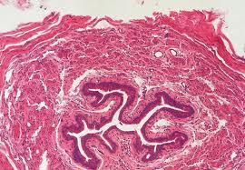 Húgyvezeték mikroszkópos képe