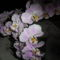 orchideák 17