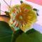 Tulipánfa virága (1) közelről