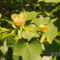 Tulipánfa virága (3)