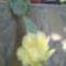 , kaktusz