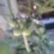 Paradicsomfa termése