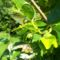 datolyaszilva virága és kis termése