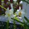 Most liliomokon van a sor a virágzásban. 4