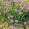 Metélőhagyma - Alliumschoenoprasum