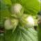 mogyorófa és termése 3