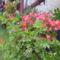 Virágaim (17)