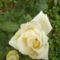 a szerény kis rózsa