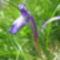 Iris pumila -Törpe nőszirom- Öcsémkő -jun 18