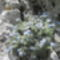 Janka gyopárnefelejcs Erithrichium nanum spp. Jankae