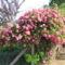 Kinyilt a rózsám 2