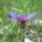 Triumfetti-imola Centaurea triumfettii