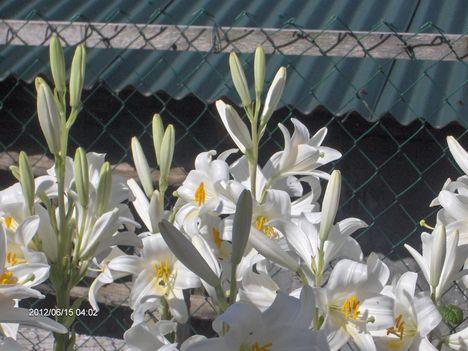 2012 junius virágos kert......