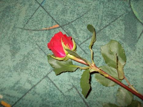Rózsaszál ...