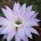 Reggeli vagy pihenő?  a kaktusz virágán