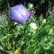 Léggömbvirág ( Köszönet L Marikának)