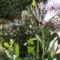 megjelent az első nagy  lepke a sédkender virágán! 002