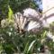 megjelent az első nagy lepke a sédkender virágán! 003