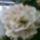 Feher_bougainvillea_2012aprilis_1477859_3523_t