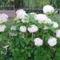 Fehér hortenzia 1