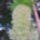 Ananász liliom 4