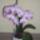 D. Edina orchideái