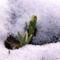 Hóvirag - Galanthus nivalis