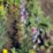 Kánya harangvirág - Campanula rapunculoides