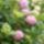 Hortenzia-002_1481098_3271_t