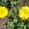 Kerti virágaim,2012.Jún.16