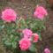 Virágoskertem 004
