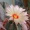 Kaktusz virág 1