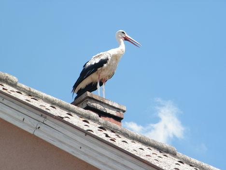 gólya látogatóba