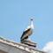 látogatóba a gólya