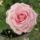 Mini_rozsa-002_1488965_5490_t