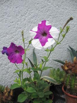 Petúnia virág